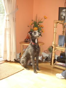 Mollie deerhound cross puppy. Robert and his staff worked tirelessly to find Mollie.