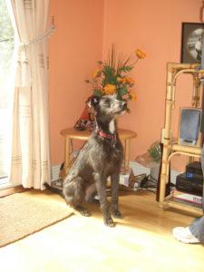 Mollie deerhound cross puppy. Robert and his staff worked tirelessly to find Mollie.